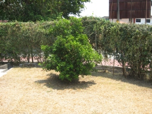 Green bush standing in a dry lawn and green hedge.